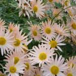 chrysanthemum_2