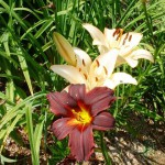 lilly_and_daylily