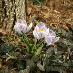 A variety of Dutch Crocus with striped petals