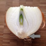 This onion in cross-section has a structure typical of bulbs. The arrow points to the woody basal disk.