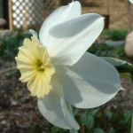 The short-cupped narcissus pictured here has an extremely short, pale yellow cup