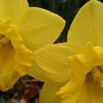 Trumpet Daffodils (click to enlarge photos)