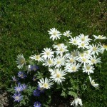 In this photo it is clear that the white form is more robust than the blue variety of Grecian Windflower