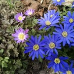 The blue form is the most common color of the Grecian Windflower found in our gardens