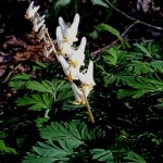 Dicentra cucullaria. Also known as Dutchman's Breeches, this species is also a Catskills native