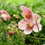Japanese anemone blooms in the late summer, while most anemones bloom in the spring