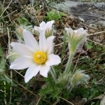 The Pasque flower is one of the showier anemones