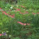 The flowering stalks of the bleeding heart have leaves along the stalk