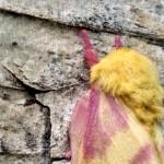 rosy_maple_moth_2