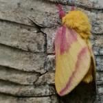 rosy_maple_moth_3