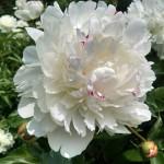 Peony 'Festiva Maxima' – An heirloom peony found in many Catskills gardens