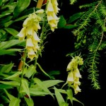 The Yellow Foxglove, Digitalis lutea