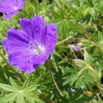 The flower of a garden Geranium