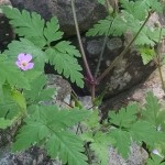 Geranium robertianum is originally European but is now naturalized throughout the Catskills region
