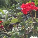 pelargoniumflwr1