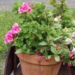 A Pot Geranium, actually a pelargonium