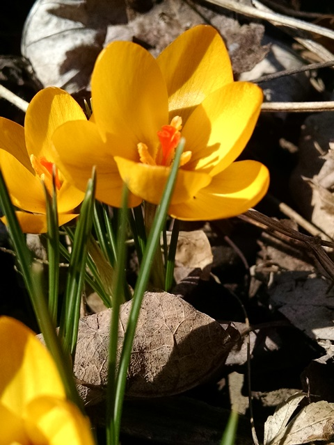 Earliest Spring Flowers In The Catskills From Root To Shoot