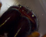Face to face with the spider Callobius