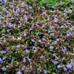 groundcover1