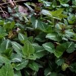 lamiumfoliage