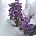 hyacinths covered by recent snowfall