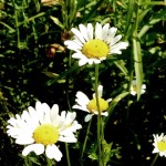 oxeyeflwr