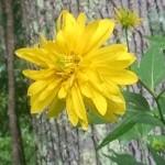 goldenglowflower