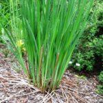 Base of Siberian Iris plant