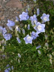 rock_garden_plants_7.jpg
