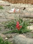 rock_garden_plants_4.jpg